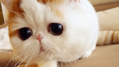 Photo of Cats With Big Eyes: Cutest Cat Breeds With Huge Eyes