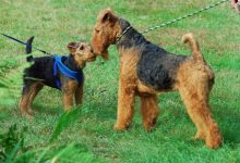 Photo of Airedale King Of Terriers